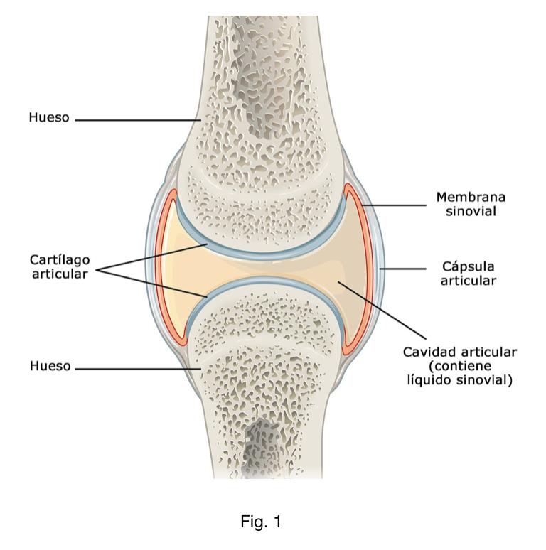 Cartílag articular